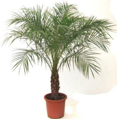 Еда и рестораны.  Финиковая пальма - фруктовый бизнес.  Как вырастить финиковую пальму?  Сельское хозяйство.