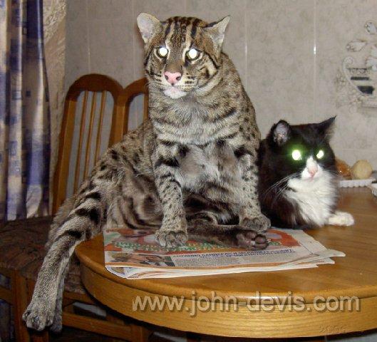 цена кот рыболов виверровый кот
